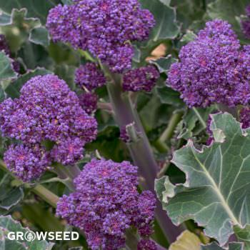 Early Purple Sprouting Broccoli Seeds