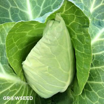 Wheelers Imperial Cabbage Seeds