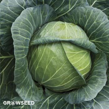 Golden Acre Cabbage Seeds