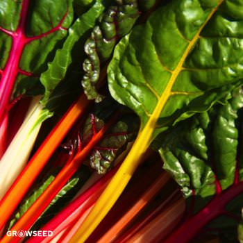 Chard Bright Lights