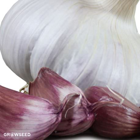 Carcassonne Wight Garlic Bulbs