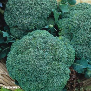 Samson F1 Broccoli Seeds