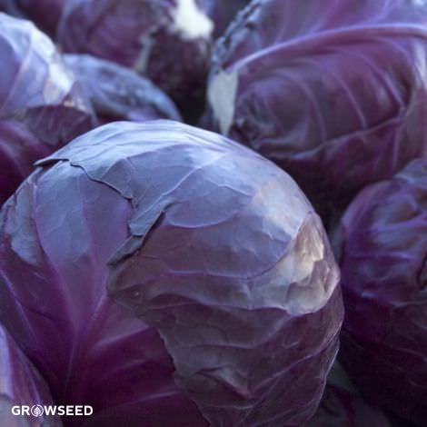 Red Drumhead Cabbage Seeds