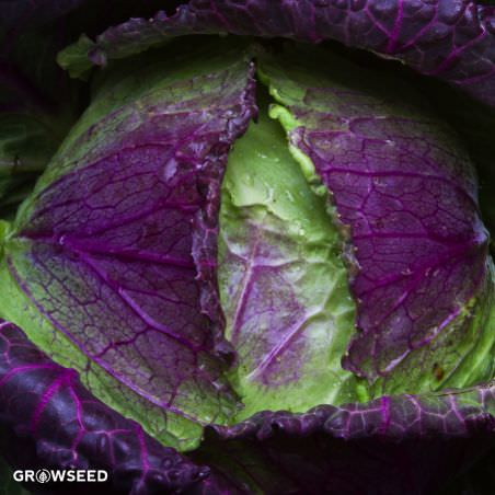 January King Cabbage Seeds