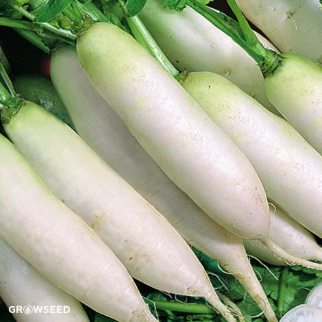Long White Icicle Radish Seeds