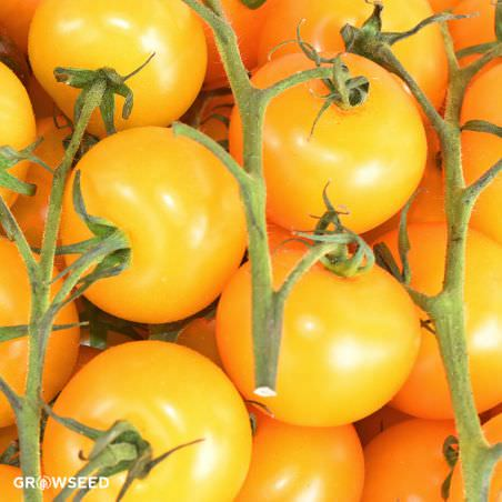 Golden Sunrise Tomato Seeds