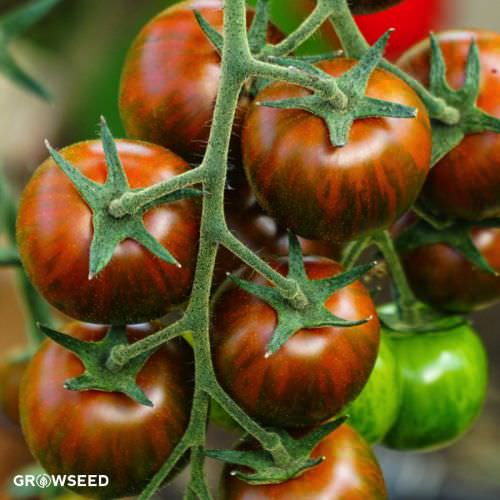 Tigerella Tomato Seeds