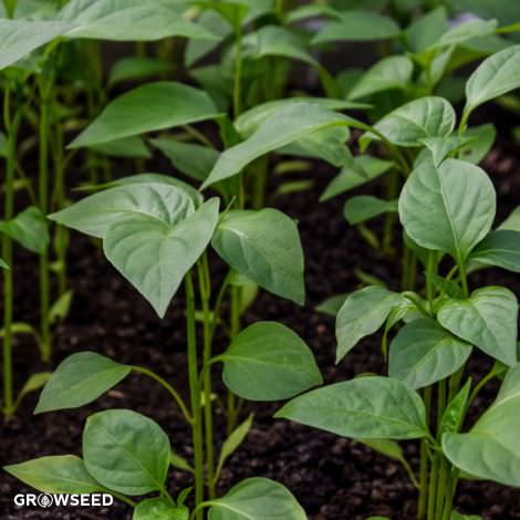 Sweet Pepper Plug Plants