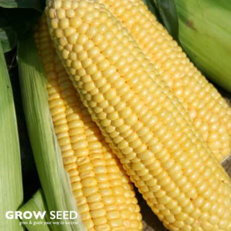 Lark F1 Sweetcorn Seeds