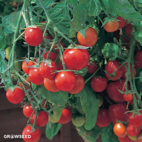 Tumbling Tom Yellow Tomato-Cantilever Tomato 5 Seeds-Seed Seeds
