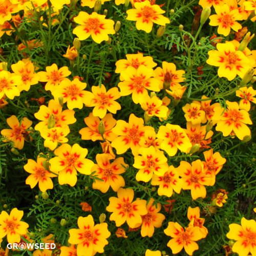 Starfire Mixed Marigold Seeds