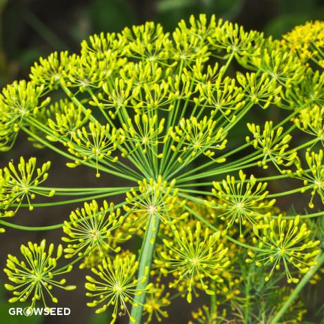 Dill Fernleaf Herb Seeds