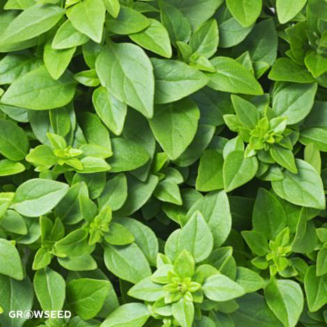 Basil Greek Herb Seeds