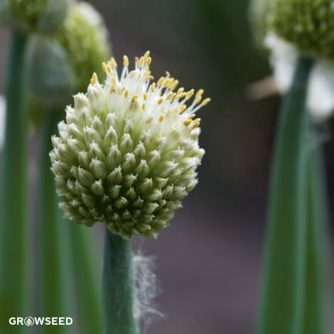 Welsh Onion Herb Seeds
