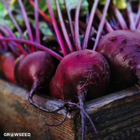 Boltardy Beetroot Seeds