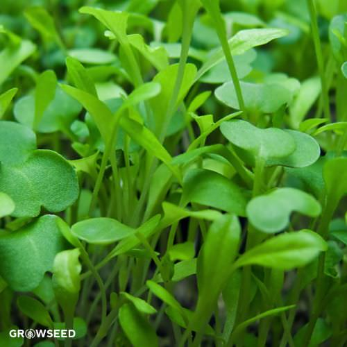 All Green Microgreen Mix