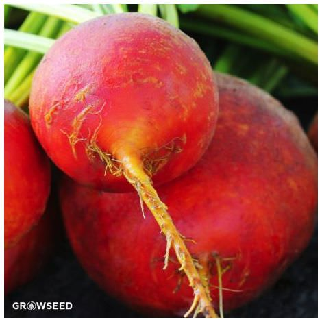 Golden Beetroot Organic Seeds