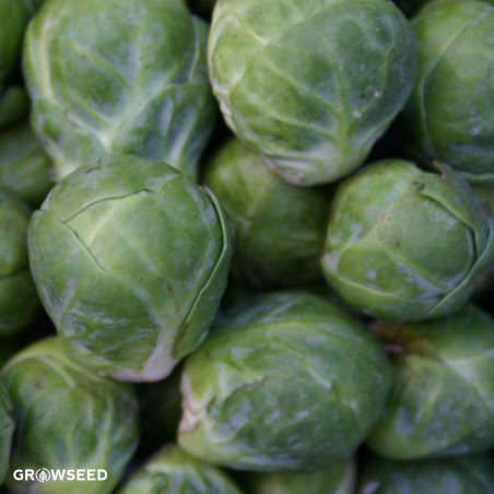 Groninger Organic Brussel Sprout Seeds