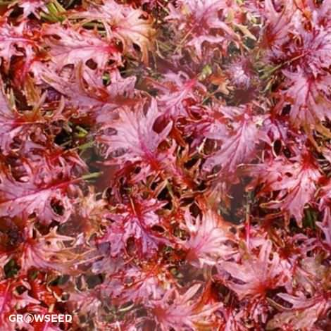 Red Ruble Kale Seeds