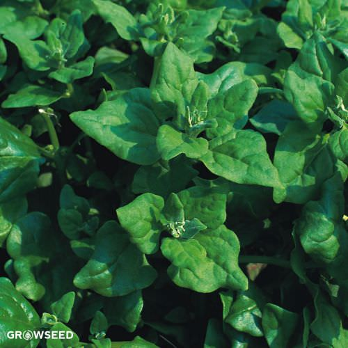 Giant Winter Spinach Seeds