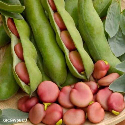 Karmazyn Broad Bean Seeds