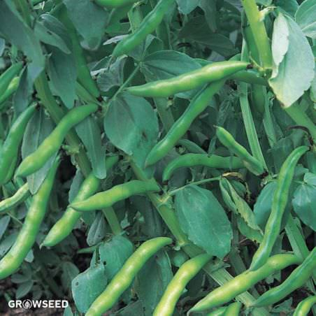 Super Aquadulce Broad Bean Seeds