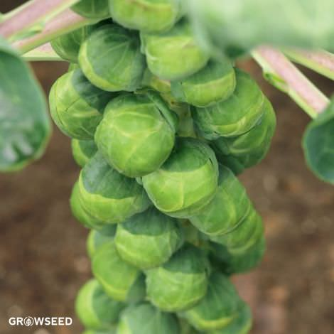 Crispus F1 Brussels Sprout Seeds