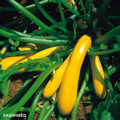 Jemmer F1 Courgette Seeds