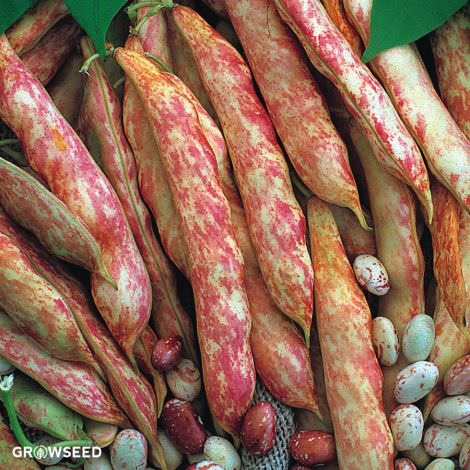 Barlotto Lingua Di Fuoco 2 French Bean Seeds
