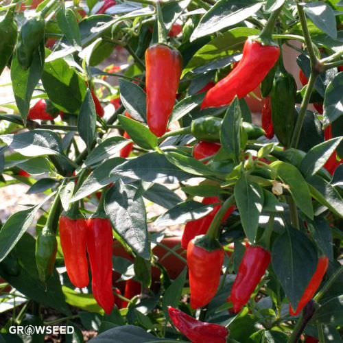 Apache F1 Chilli Pepper Seeds