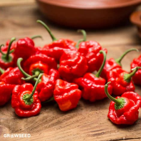 Scotch Bonnet Red Chilli Pepper Seeds