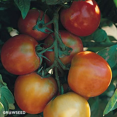 St Pierre Tomato Seeds