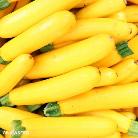Atena F1 Courgette Seeds