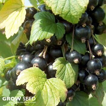 Blackcurrant (Ben Connan) Bush