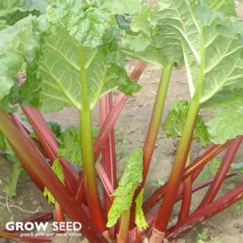 Rhubarb (Timperley Early) Crowns