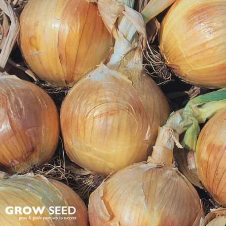 Bedfordshire Champion Onion See 300 Seeds SOW NOV FEB