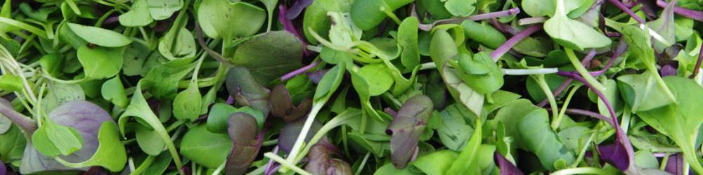 Grow your own Microgreens at home. Grow Microgreens all year!